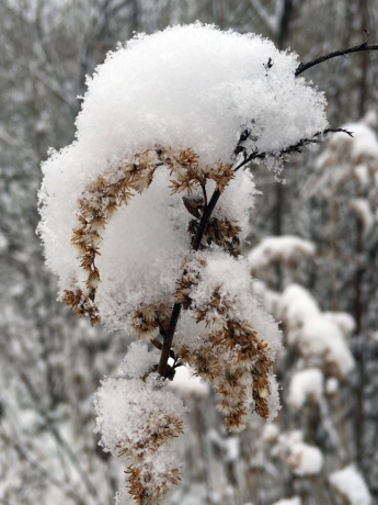 Canada Goldenrod after a snowfall
