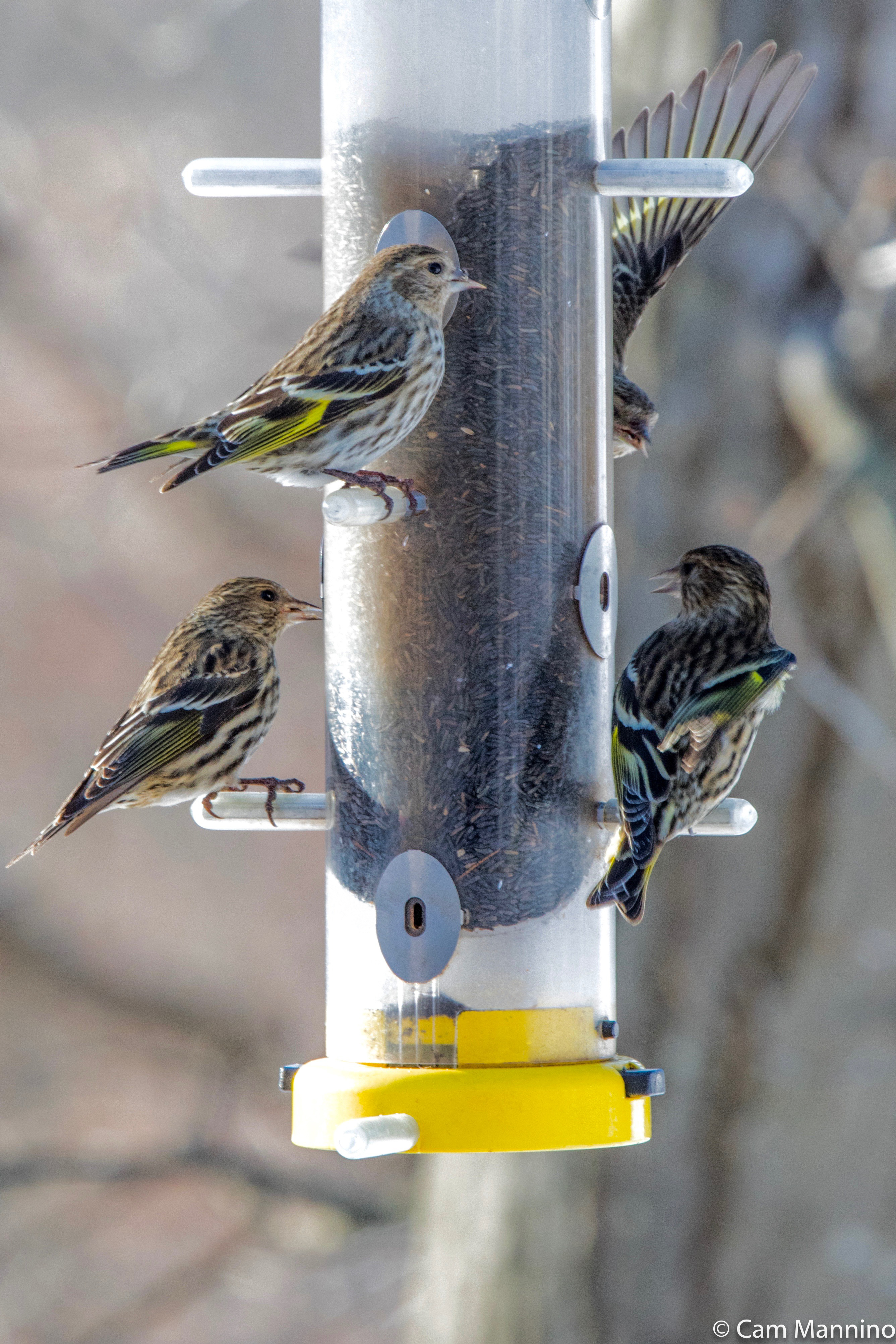 How to Attract Yellow Finches forecast