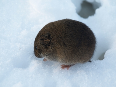 Meadow Vole by Wolfgang Siebeneich (CC BY-NC)