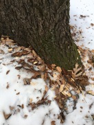 The wood chips left at the foot of the tree