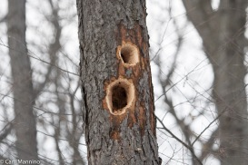 Holes excavated by a Pileated Woodpecker.