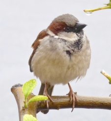 Invasive and aggressive House Sparrow (photo by dlbowls (CC BY-NC) at iNaturalist.org