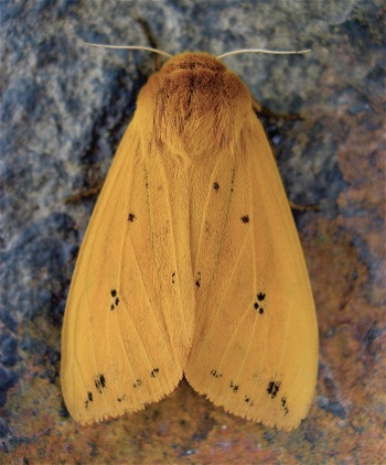 The Woolly Bear becomes an Isabella Tiger Moth. (Photo by Steve Jurvetson CC BY)