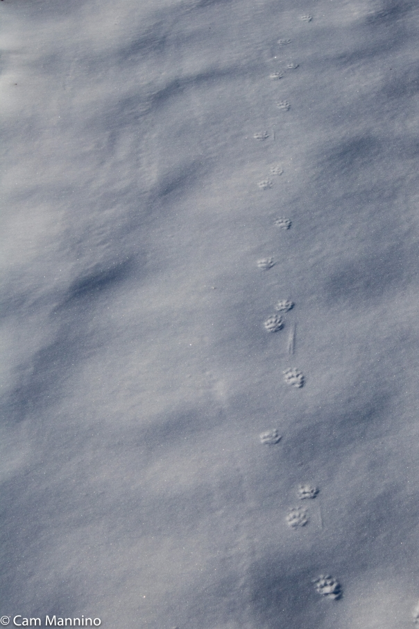 red-fox-tracks-ilsley.jpg