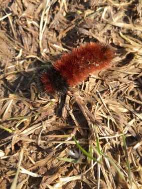 A Woolly Bear Caterpillar may have hatched a bit prematurely.