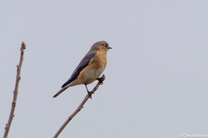 A female bluebird surveying the eastern meadow