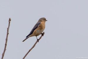A female bluebird surveying the eastern meadow