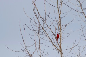 A male cardinal turns periodically to send his call in all directions.