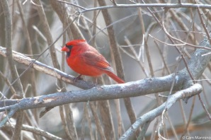 A male cardinal sang near the parking lot. Another answered from the woods nearby.