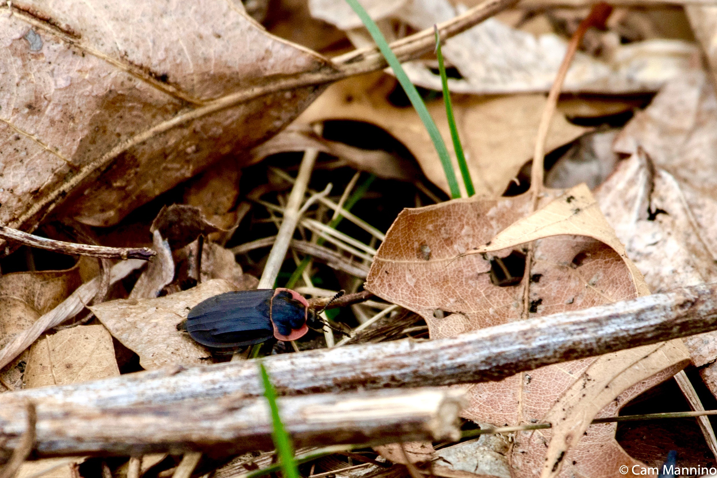 Sexton Carrion Beetle Natural Areas Notebook