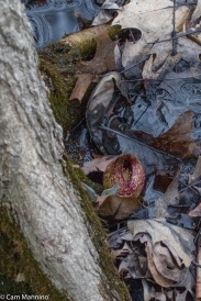 The skunk cabbage's flower within its spathe emerging from the mud on March 31.