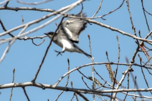 The Eastern Kingbird on takeoff!