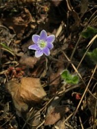 A hardy little hepatica rises from the blackened soil.