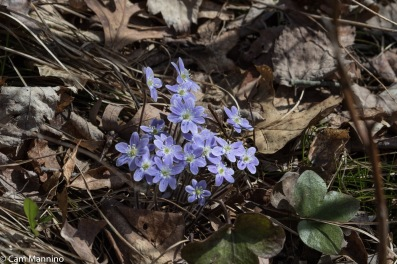Hepatica seeds require more than one season in the soil before blooming.