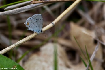 The Spring Azure is much less notable to predators when it settles to feed.