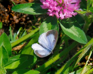 Spring Azure blue upper wings by Dan Mullen (CC BY-NC-ND)