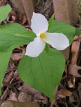 A Common Trillium is pure white when it blooms.