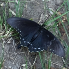 Pipevine Swallowtail by Annabelle Corboy (CC BY-NC)