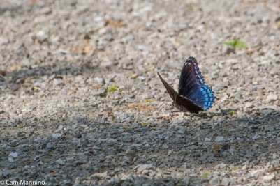 The harmless Red-spotted Purple is a Batesian mimic of the toxic Pipelvine Swallowtail