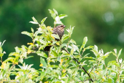 A Red-winged Blackbird female peeks from a bush in the field near the pond.