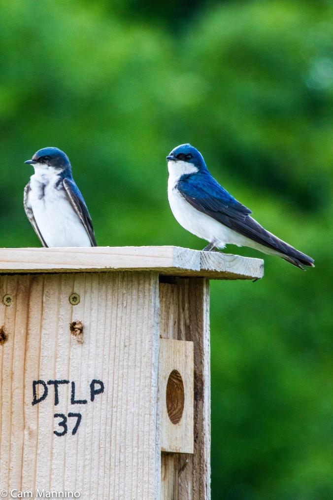 Tree Swallows DPTL