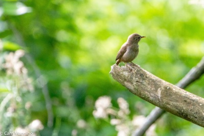 A fledgling wren peruses its world.