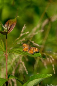 A tiny Pearl Crescent (Phyciodes tharos)
