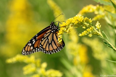 Monarch on goldenrod at Cranberry Lake Park