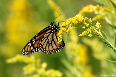 Monarch on Canada Goldenrod (Solidago canadensis)