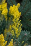 Showy Goldenrod makes plumes of lemon yellow.