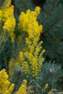 Showy Goldenrod (Solidago speciosa) in summer