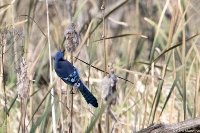 A Blue Jay probing for cat-tail seeds.