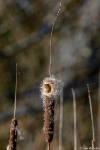 Cat-tails are seeding in the marsh on the park's west side.