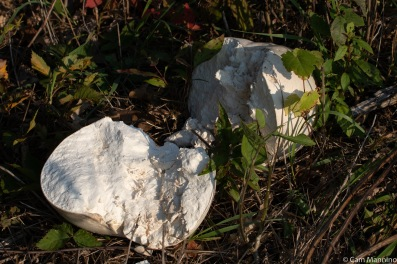 A large puffball appeared along the treeline for the second year in a row.