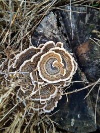 Turkey-tail mushrooms on a stump at Gallagher.