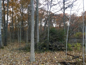 A pile of invasive Buckthorn which will eventually be burned.