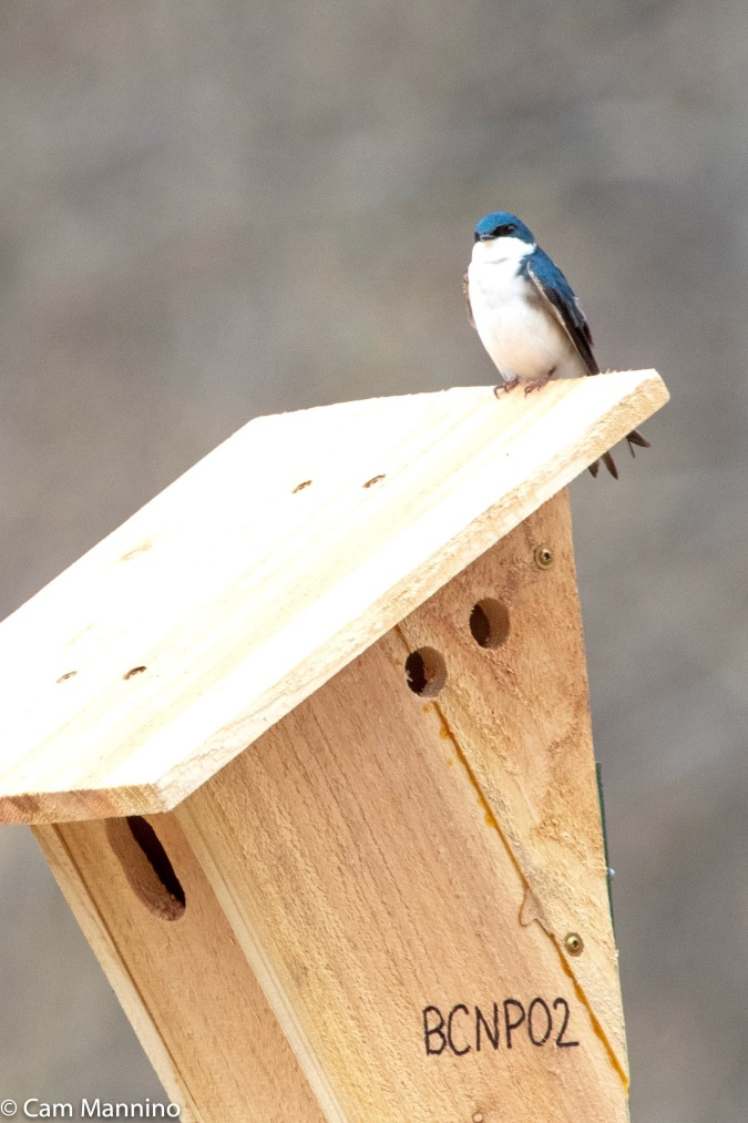 A Tree Swallow checks out the new nesting possibilities.