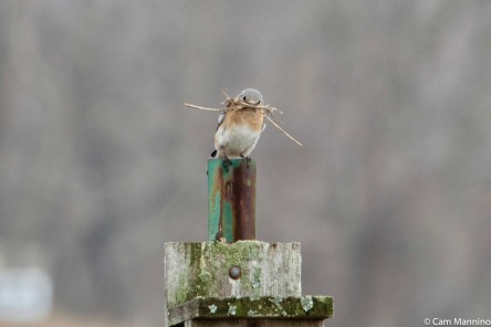 A female Bluebird bringing nesting material to her box at Ilsley Park earlier this year.