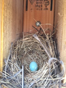 First bluebird egg in the new boxes at Bear Creek this year