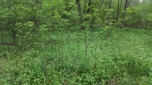 Garlic mustard patch before we pulled it out.