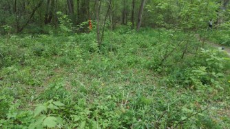 The same spot after volunteers removed the garlic mustard. Much better!