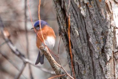 An adult male Eastern Bluebird
