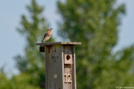A female Bluebird defending her nestbox from predators like the House Sparrow.