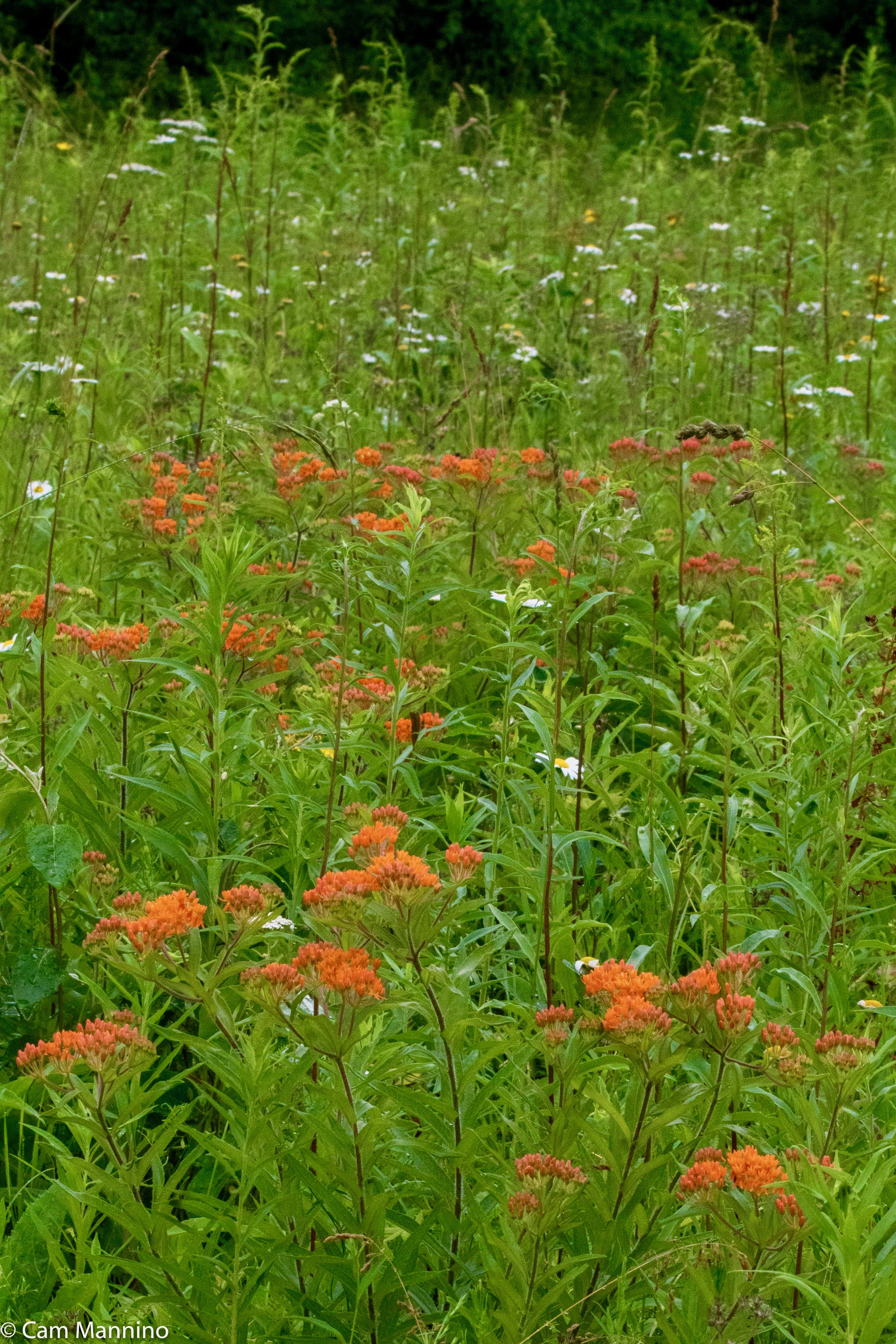 Butterfly Weed and daisies BC (1)