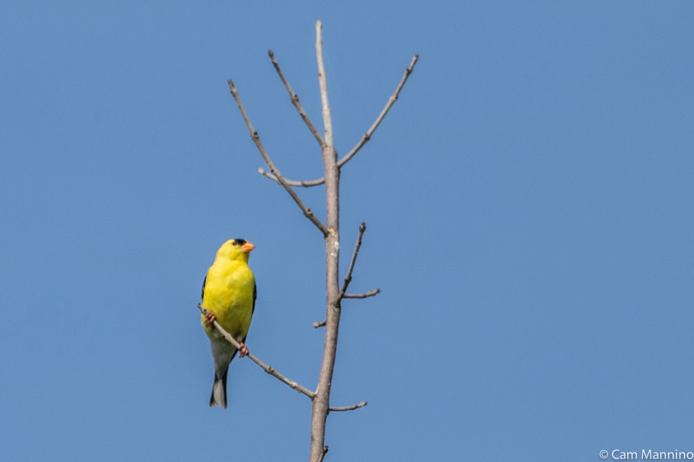 Goldfinch male DTL | Natural Areas Notebook