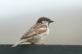 House Sparrow by avepel (CC BY-NC) at inaturalist.org