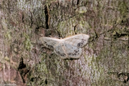 Evidently Lace Border Moths come in more than one color-form since this one has the dark border on its wings.