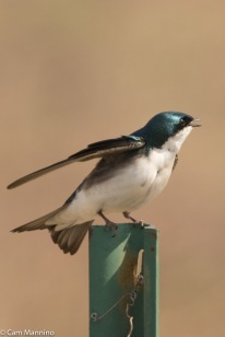 An adult male Tree Swallow calling to its mate.