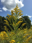 A stately plume of Canada Goldenrod