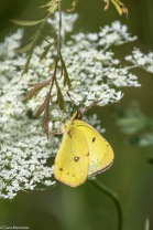 A Clouded Sulphur has black bands on the dorsal side of its wings.